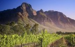 South-African-vineyard